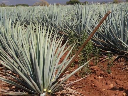 Agávové polia a staré zariadenia k výrobe tequily